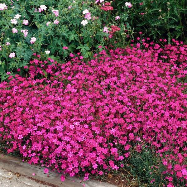 Dianthus deltoides 'Brilliant' | 2L Pot