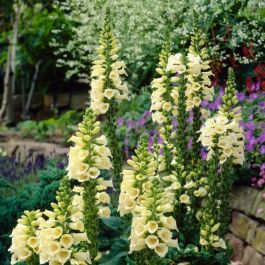 Digitalis grandiflora 'Dwarf Carillion' | 9cm Pot