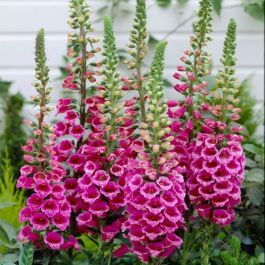 Digitalis purpurea 'Foxy' | 9cm Pot
