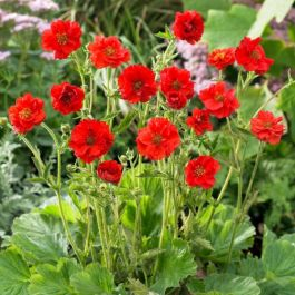 Geum flora plena 'Blazing Sunset' | 9cm Pot