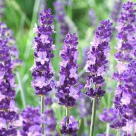 Aromatico Blue' English Lavender | 9cm Pot