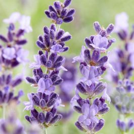 Hidcote' English Lavender | 9cm Pot