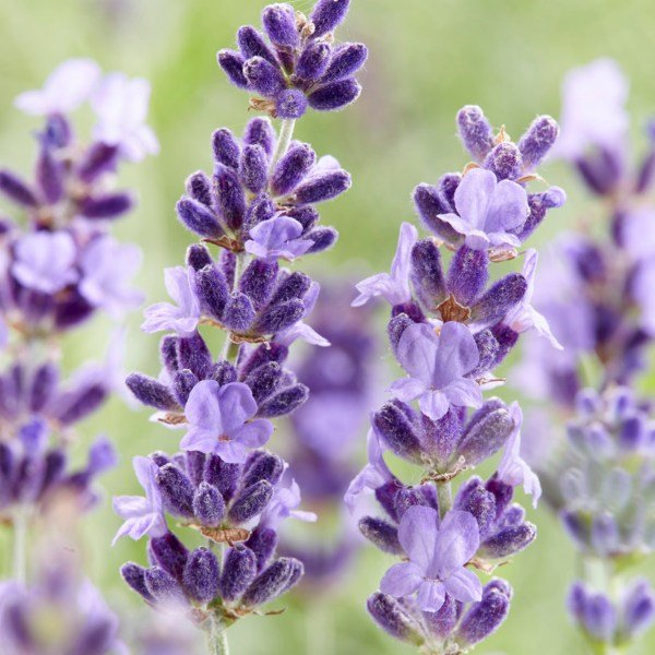 6 x Lavandula 'Hidcote Improved' | 10.5cm  Pot