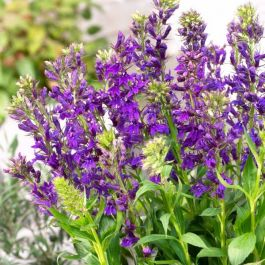 Lobelia speciosa 'Fan Blue' | 9cm Pot