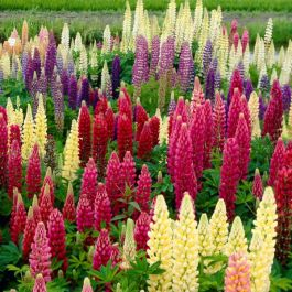 Lupin 'Gallery Mixed' | 9cm Pot