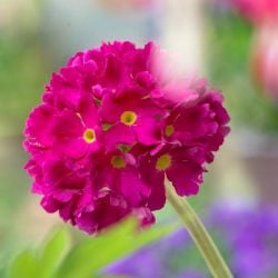 Primula denticulata 'Ruby' | 9cm Pot