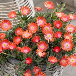 Delosperma 'Jewel of Desert Topaz' | 9cm Pot