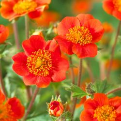 Geum coccineum 'Queen of Orange' | 9cm Pot