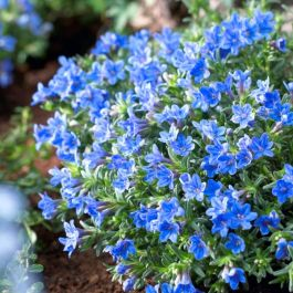 Lithospermum 'Heavenly Blue' | 9cm Pot