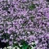 Phlox Subulata 'Emerald Cushion Blue' | 9cm Pot