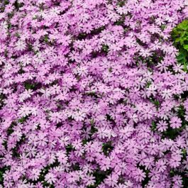 Phlox Subulata 'Fort Hill' | 9cm Pot