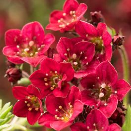 Saxifrage x Arendsii 'Touran Deep Red' | 9cm Pot