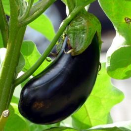 'Black Beauty' Aubergine Plants | 5 Plants | By Plant Theory
