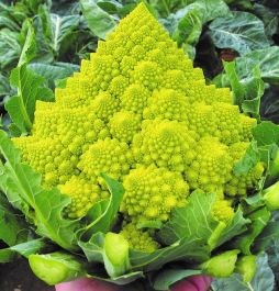 'Romanesco' Cauliflower Plants| 10 Plants | By Plant Theory