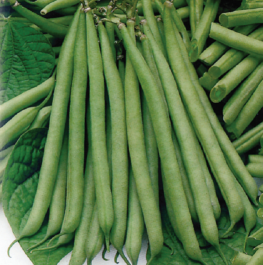 'Tendergreen' Dwarf French Green Bean Plants | 10 Plants  | By Plant Theory