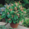 'Hestia' Dwarf Runner Bean Plants| 5 Plants  | By Plant Theory