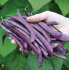 'Cosse Violette' French Climbing Bean Plants | 10 Plants | By Plant Theory