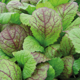 'Giant ' Red Mustard Plants | 10 Plants | By Plant Theory