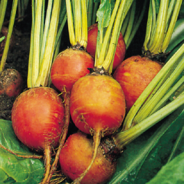 'Golden Boldor' Beetroot Plants| 10 Plants | By Plant Theory