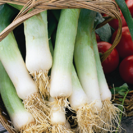 'Musselborough' Leek Plants | 20 Plants | By Plant Theory