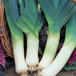 'Giant Winter' Leek Plants | 20 Plants | By Plant Theory