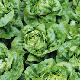 'Buttercrunch' Lettuce Plants | 10 Plants | By Plant Theory