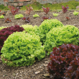 'Green Salad Bowl' Lettuce Plants | 10 Plants | By Plant Theory