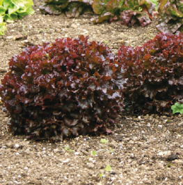 'Red Salad Bowl' Lettuce Plants |10 Plants | By Plant Theory