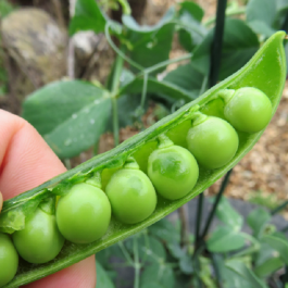 'Kelvedon Wonder' Pea Plants | 10 plants | By Plant Theory