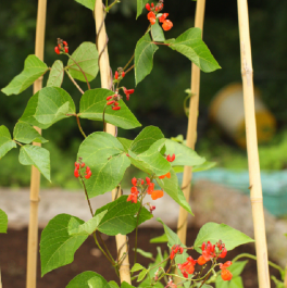 'Enorma' Runner Bean Plants | 10 Plants | By Plant Theory