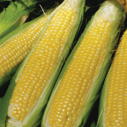 'Sweet Nugget' Sweetcorn Plants | 10 Plants | By Plant Theory