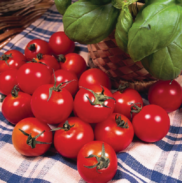 'Gardener's Delight' Tomato Plants | 5 Plants | By Plant Theory