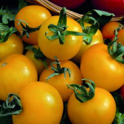 'Golden Sunrise' Tomato Plants | 5 Plants | By Plant Theory