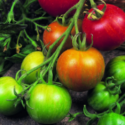 'Tigerella' Tomato Plants | 5 Plants | By Plant Theory