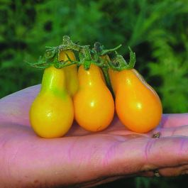 'Yellow Pear' Tomato Plants | 5 Plants | By Plant Theory