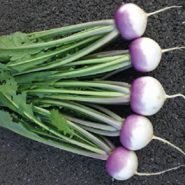 'Sweetbell' Turnip Plants | 10 Plants | By Plant Theory