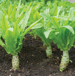 Celtuce Plants | 10 Plants |  By Plant Theory