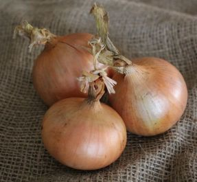 'Bedfordshire Champion' Onion Plants | 20 Plants | By Plant Theory
