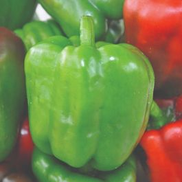 'Californian Wonder' Sweet Pepper Plants | 3 Plants | By Plant Theory
