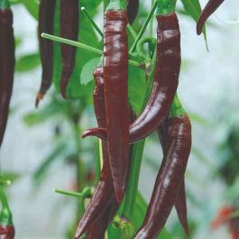 'Cayenne Long Slim' Chilli Pepper Plants | 3 Plants | By Plant Theory