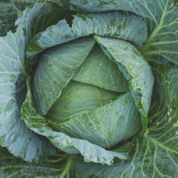 April' Green Cabbage Plants |10 Plants | By Plant Theory