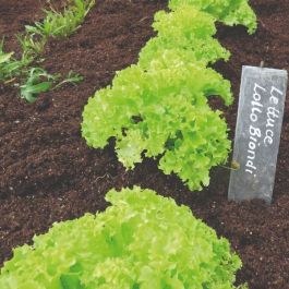 'Lollo Biondi' Lettuce | 10 Plants | By Plant Theory