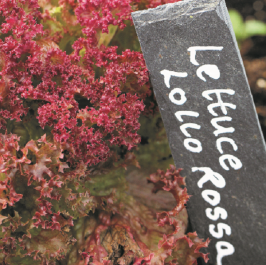 'Lollo Rossa' Lettuce Plants | 10 Plants | By Plant Theory