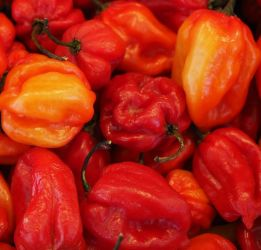 'Scotch Bonnet Red' Chilli Pepper Plants | 3 Plants | By Plant Theory