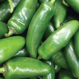 'Early Jalapeno' Chilli Pepper Plants | 3 Plants | By Plant Theory