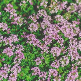 Thyme Plants | 3 Plants | By Plant Theory