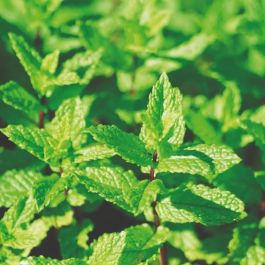 Garden Mint Plants | 3 Plants | By Plant Theory