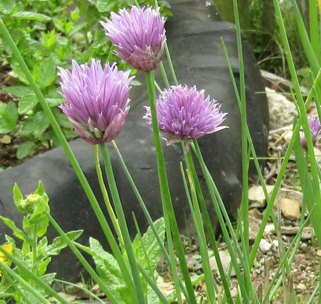 Chive Plants | 3 Plants | By Plant Theory