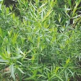 French Tarragon Plants | 3 Plants | By Plant Theory