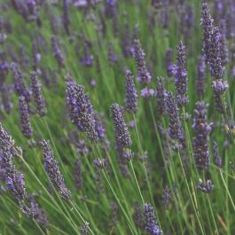 Lavender Plants |3 Plants | By Plant Theory